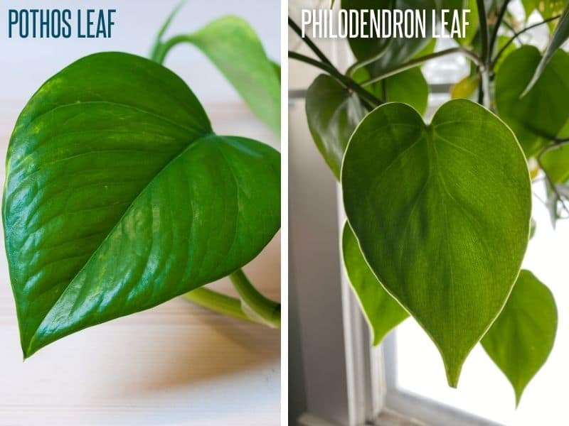 A split image compares the leaves of a pothos to those of a philodendron