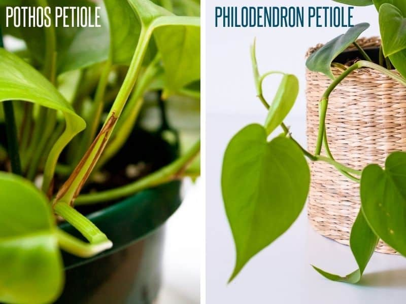 A split image compares the petiole of pothos and philodendron