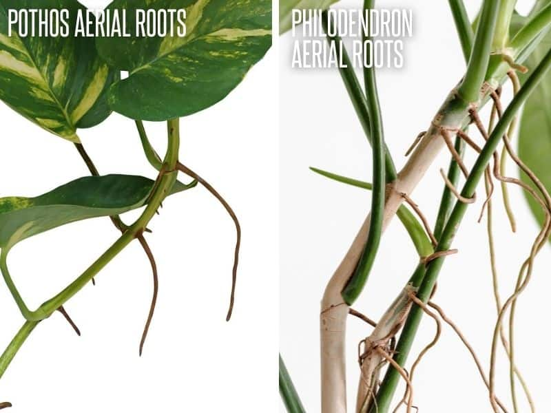 A split image compares the aerial roots of pothos and philodendron