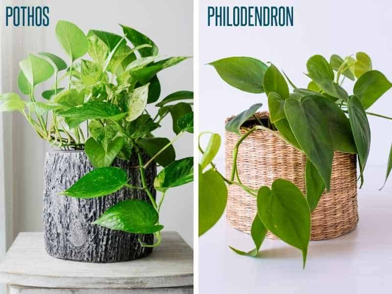 A split image shows a pothos plant compared to a heart leaf philodendron plant