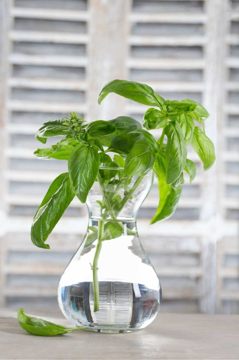 Basil cuttings sit in a glass jar of water