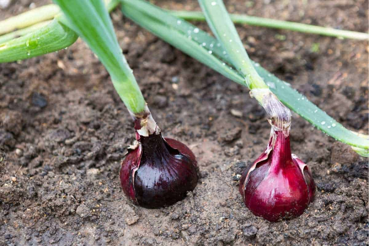 Two red onions grow in dry soil