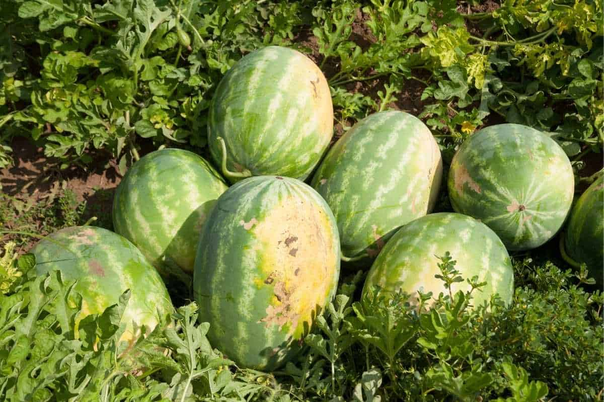 Just-harvested watermelon are piled in a field. You can see yellow spots on the watermelon.