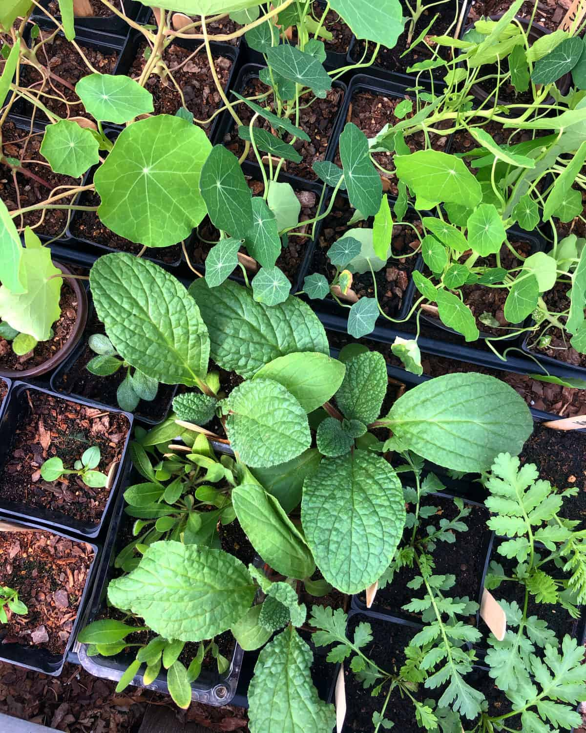 A tray of seedlings sit outside, hardening off and preparing to get planted in the soil