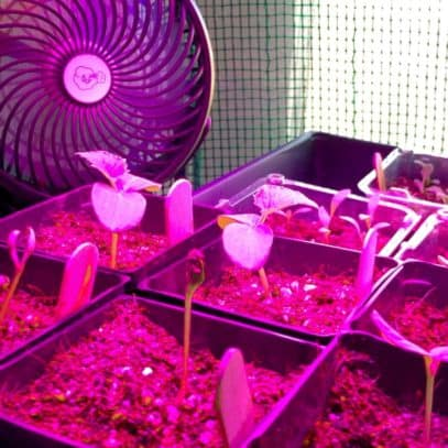 An oscillating fan points at seedlings under a grow light, which tints the plants purple