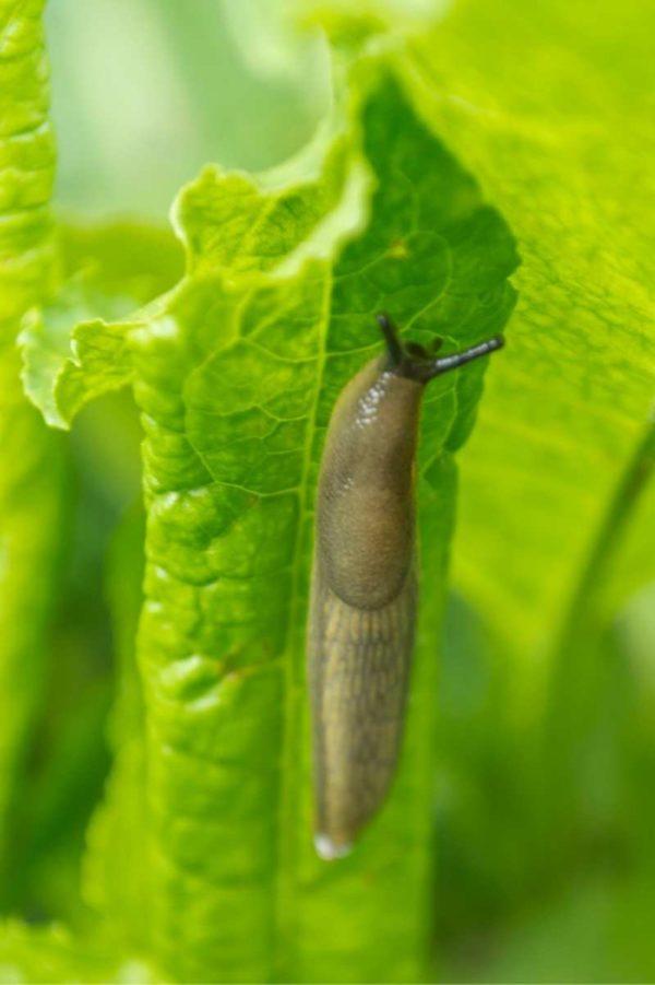 A slug crawls on a green leaf