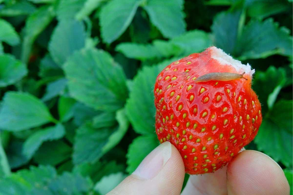 A small slug crawls on a strawberry just harvested from the garden