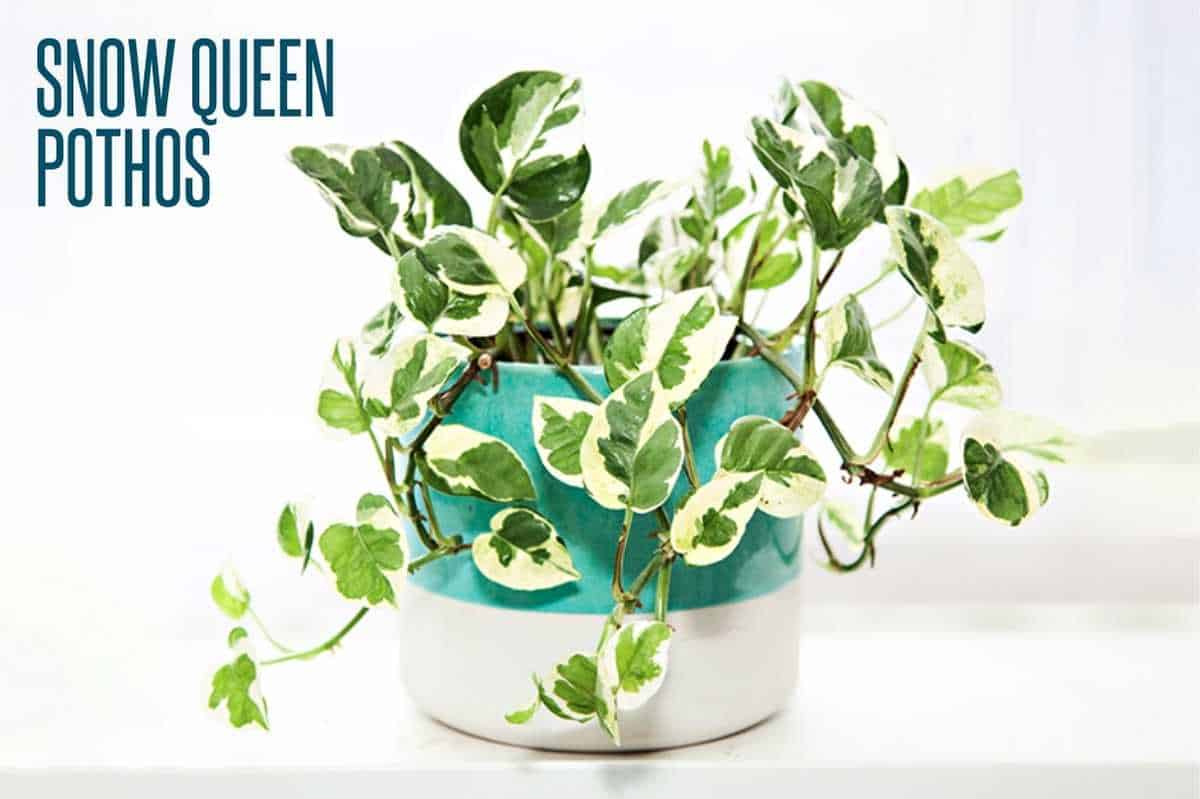 A snow queen pothos is in a turquoise and white planter, and is labeled.