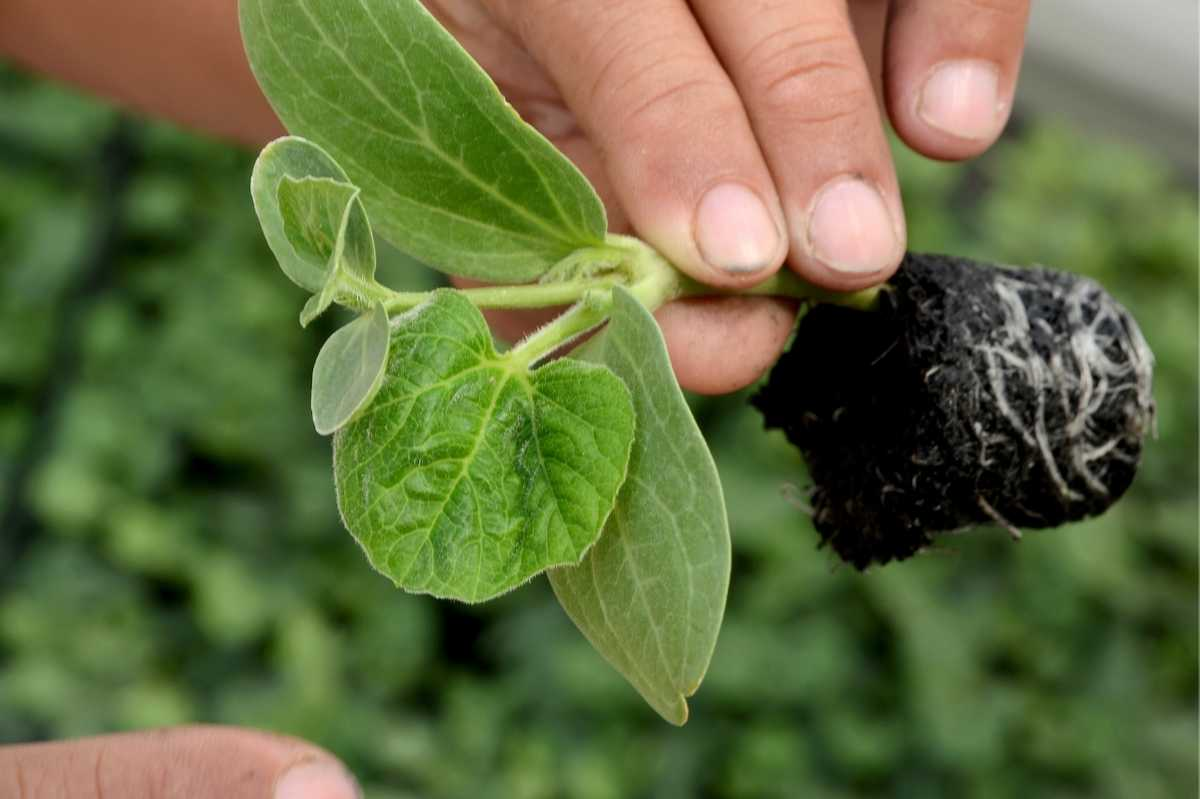A hand holds a watermelon seedling, ready to transplant it to soil