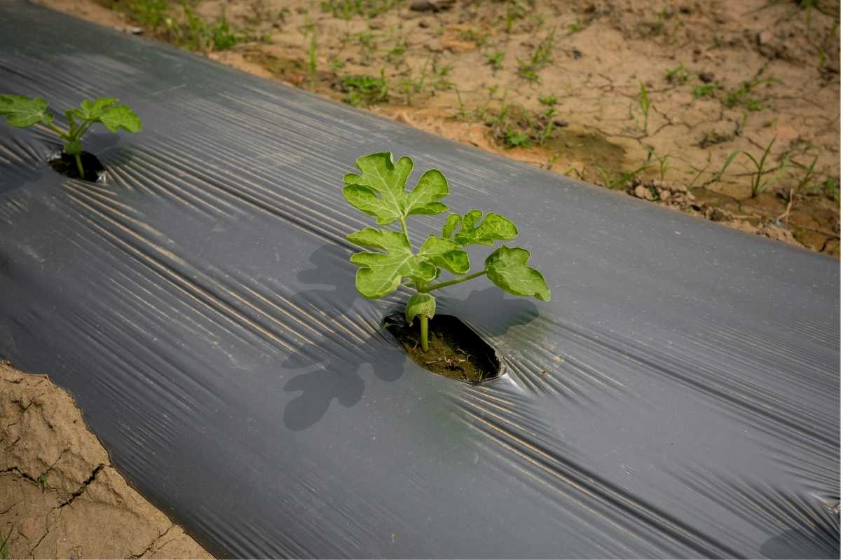 Watermelon seedlings grow through black plastic, stretched over the rows.