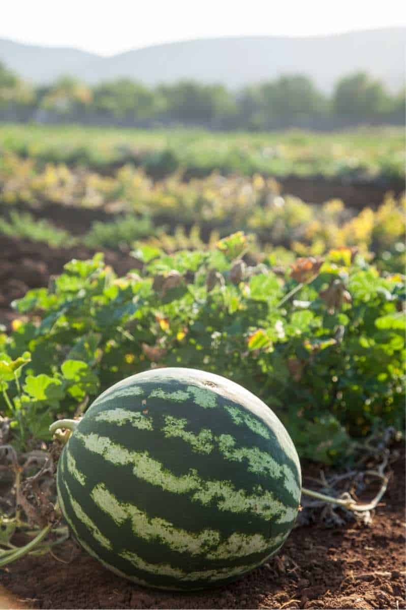 A watermelon grows in a field. The vines grow in the background.