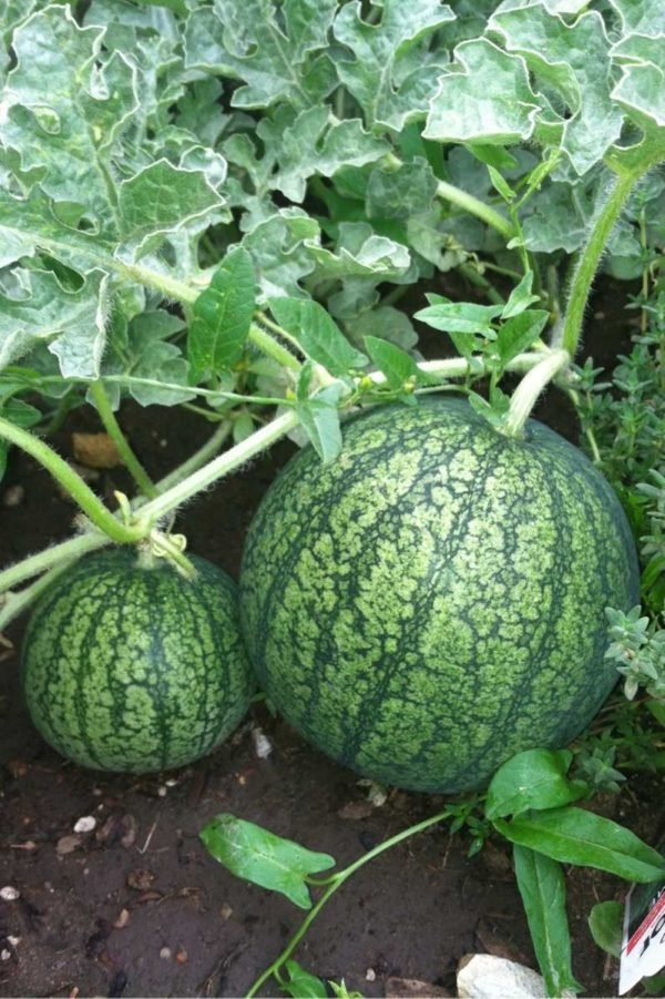 Two watermelon grow on a vine. One is larger than the other.
