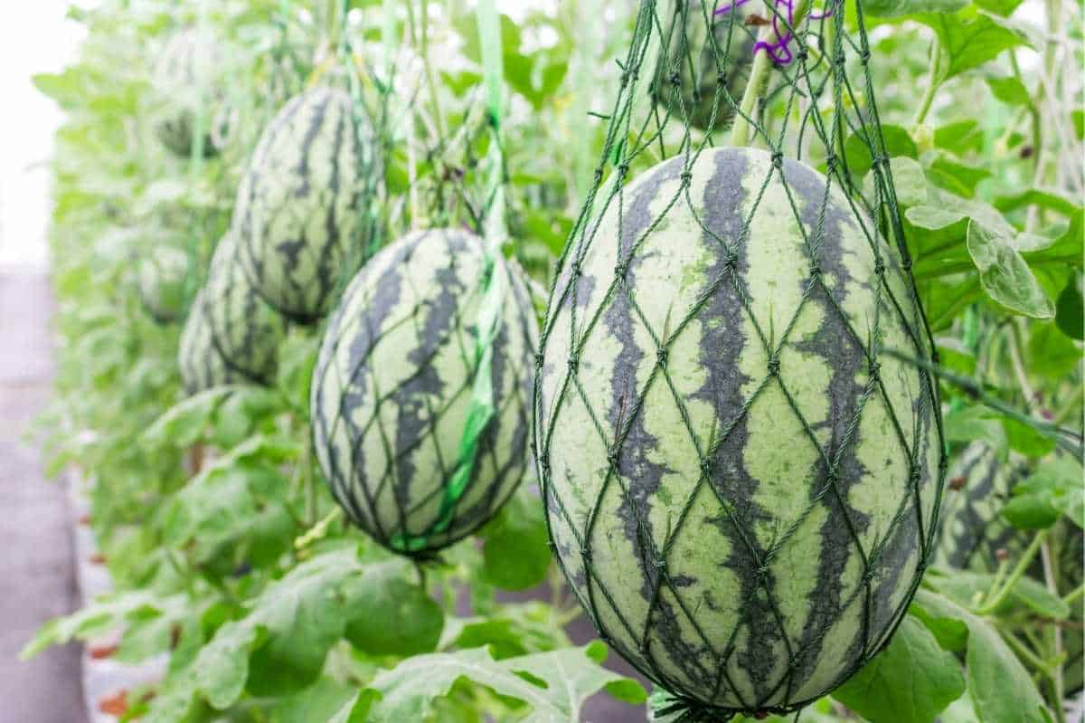 Watermelon grow vertically, supported by netted hammocks