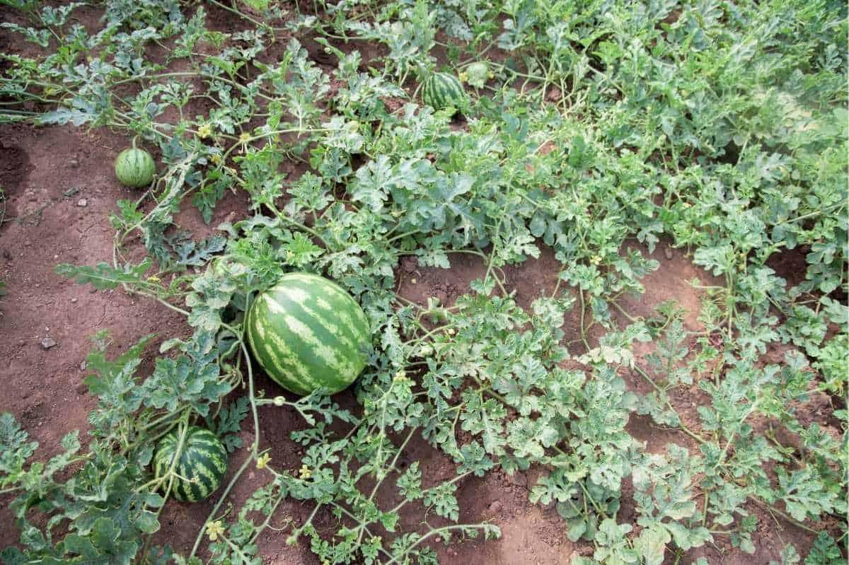 A watermelon vine sprawls across a field. Several immature melons grow along the vine