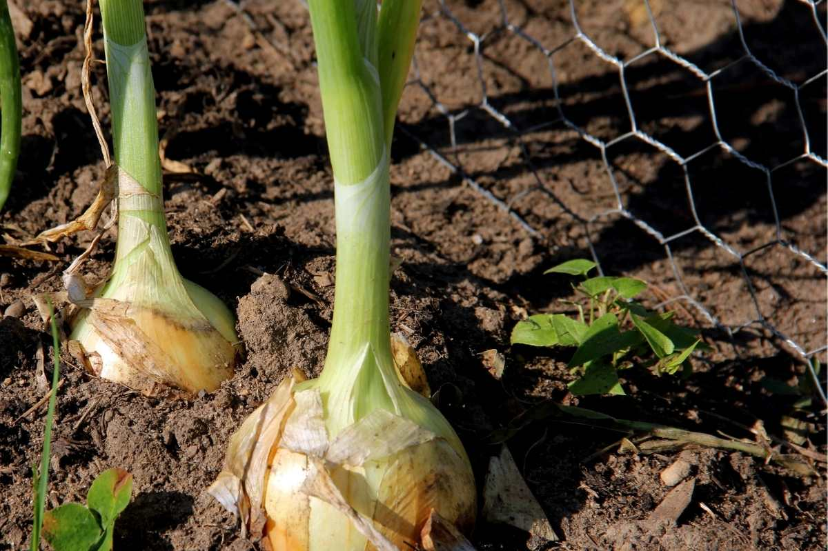 Yellow onions grow in the soil