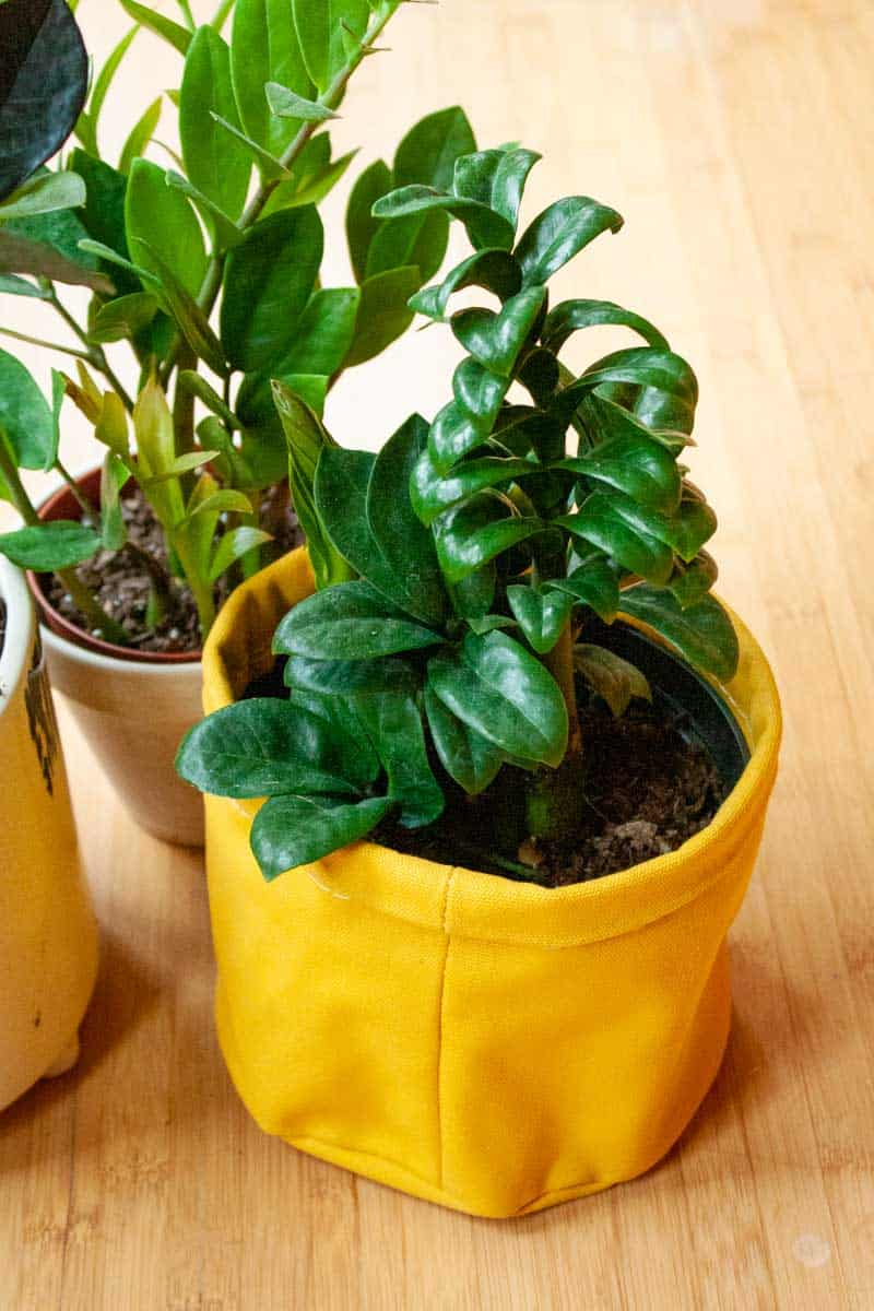 A zenzi zz in a yellow canvas pot sits in front of another zz plant