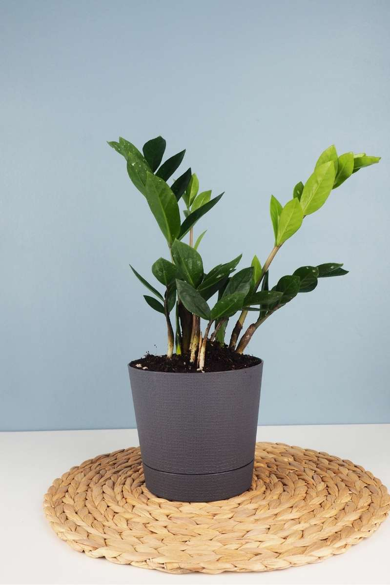 A zz plant in a gray pot sits on a woven mat in front of a light blue wall