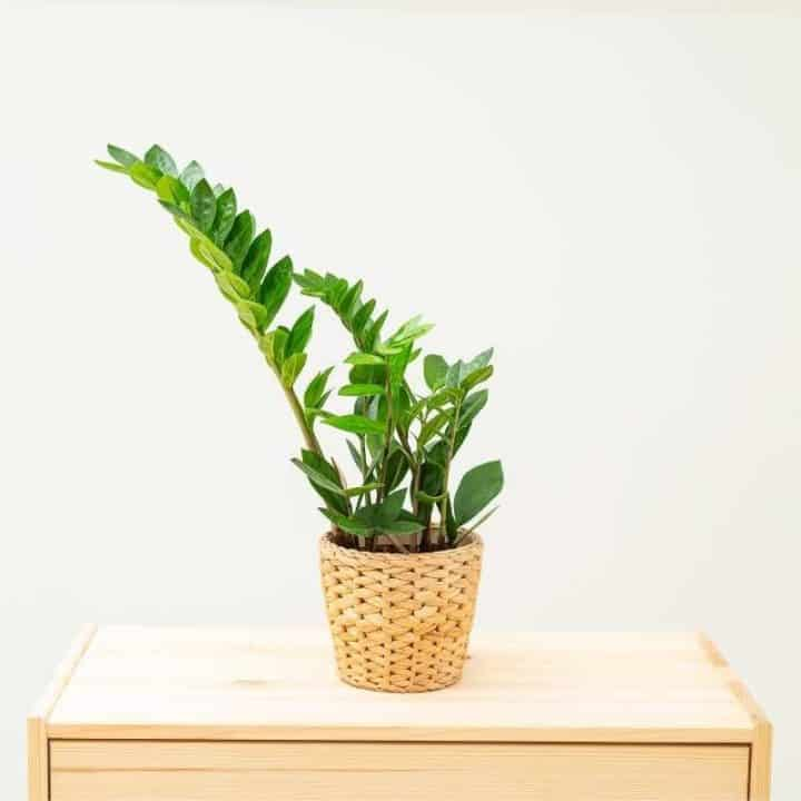 A zz plant in a woven basket sits on a wooden dresser in front of a white wall