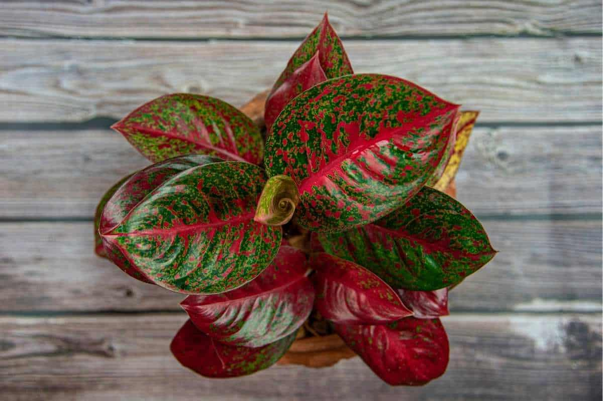 A red and green Aglaonema in a pot outside
