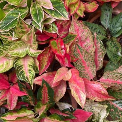 Different kinds of Aglaonema next to each other