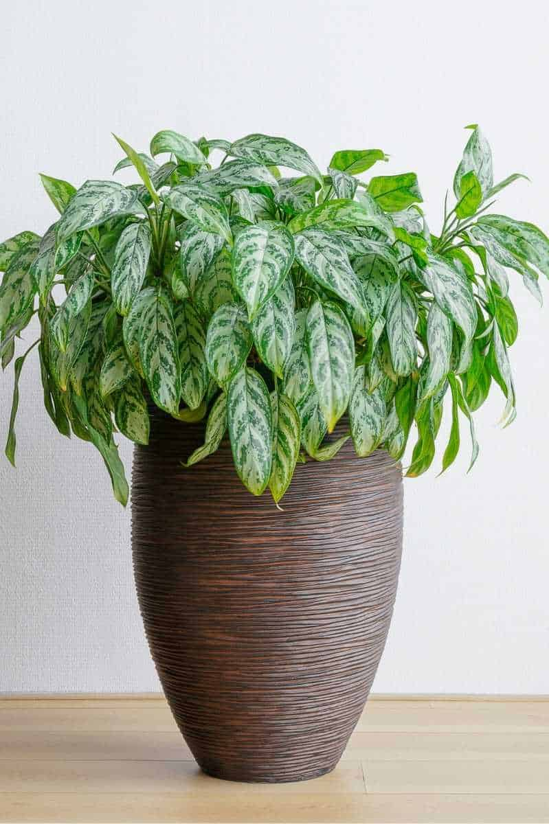 An Aglaonema is in a tall brown pot