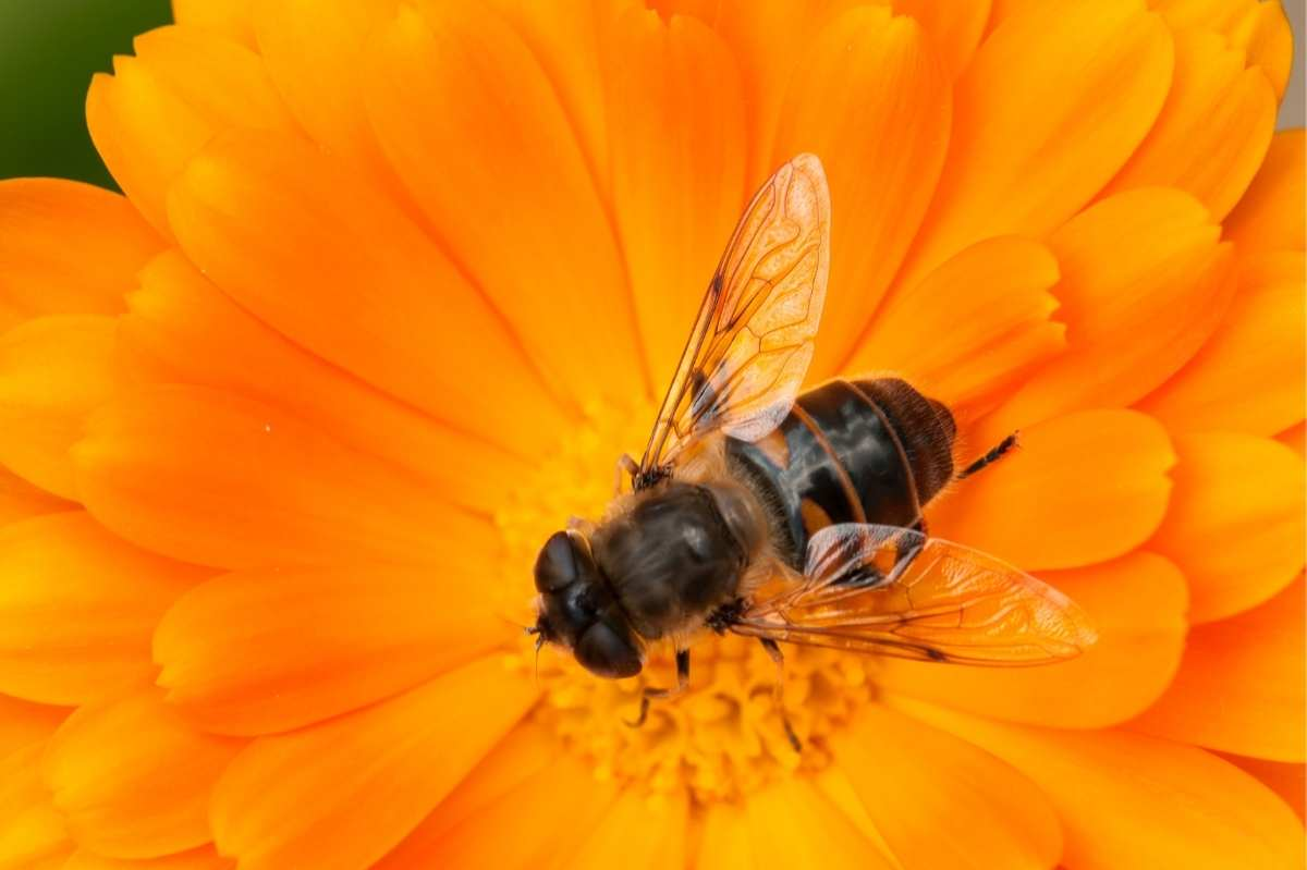Close up on a bee in the center of an orange calendula flower