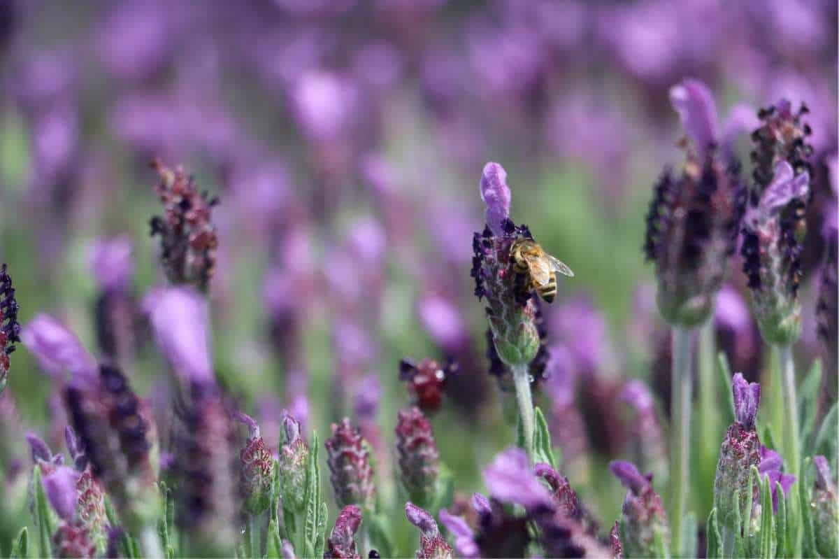 A bee sits on a purple lavender blossom
