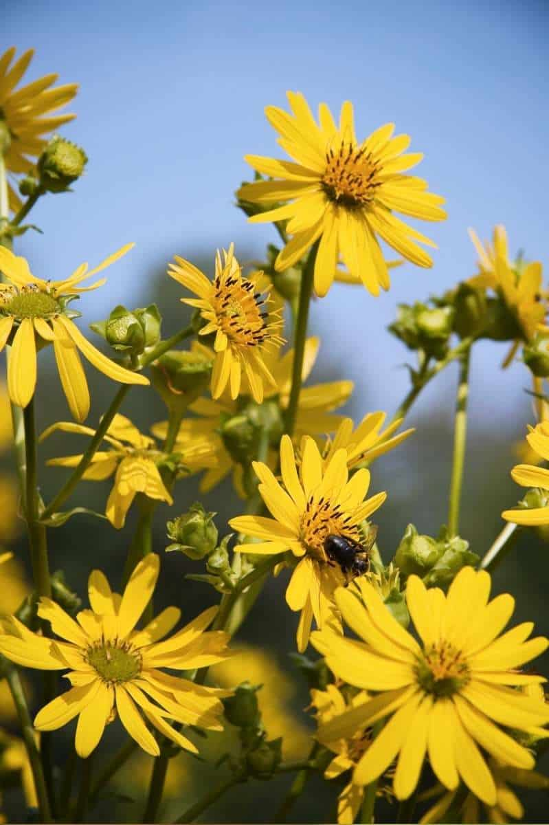 Bees fly around and land on a field of sunflowers