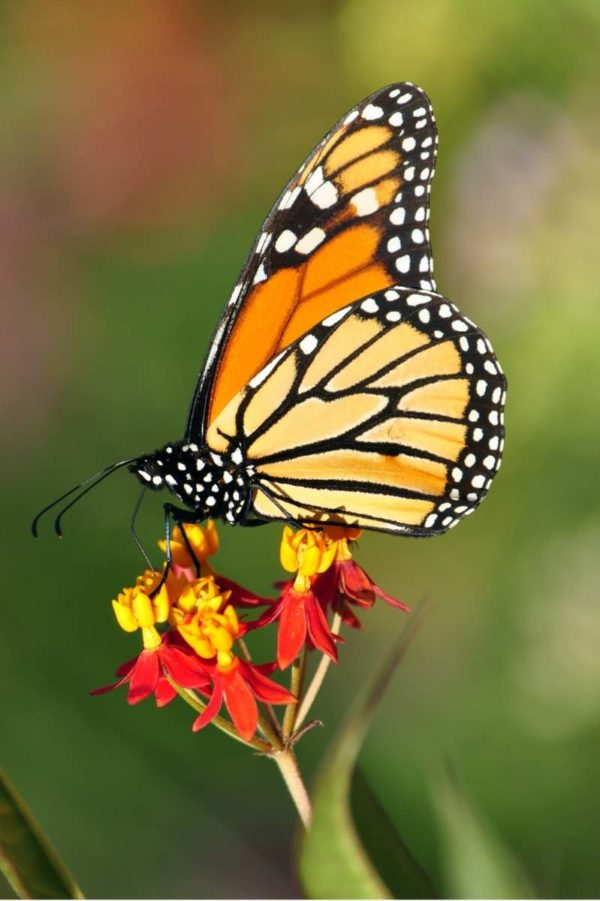 A monarch butterfly perches on some milkweed
