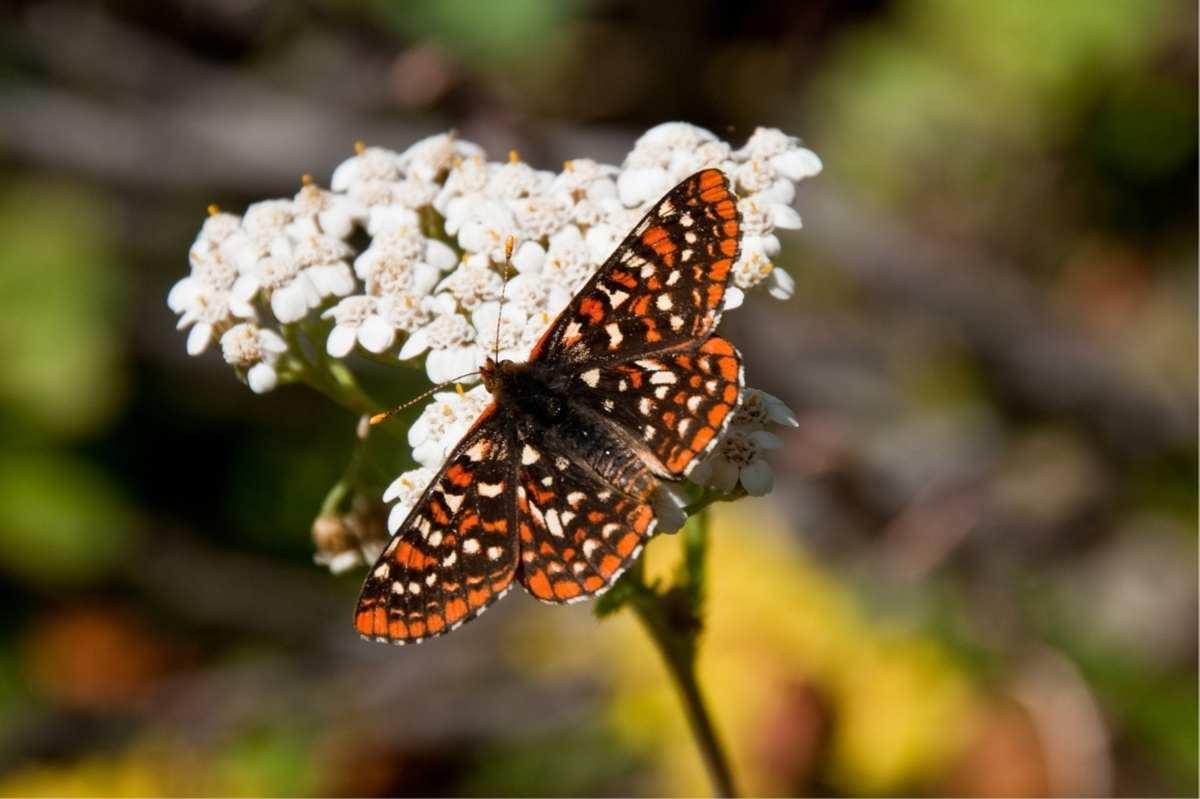A butterfly lands on a yarrow bloom in a pollinator garden