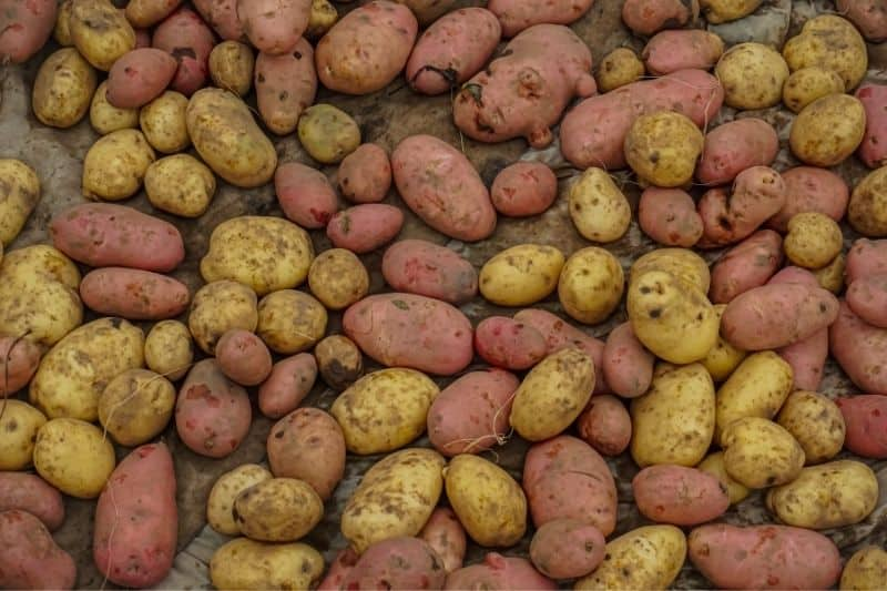 Yellow and red potatoes are spread out in a single layer to cure