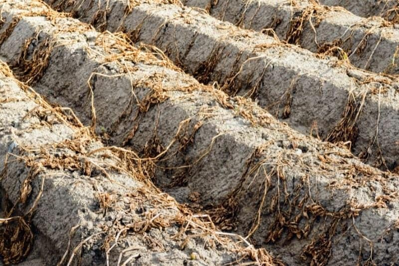 Dead plants in rows of hills show potatoes ready for harvest