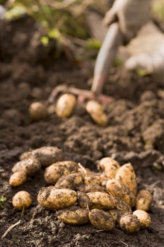 A pile of freshly harvested fingerling potatoes lay on the soil. In the background, hands hold a shovel digging up more potatoes