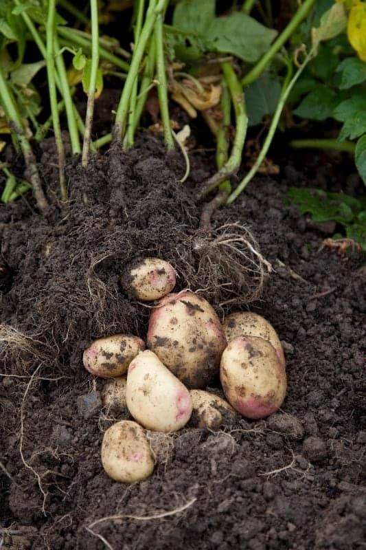Freshly dug potatoes rest on the soil
