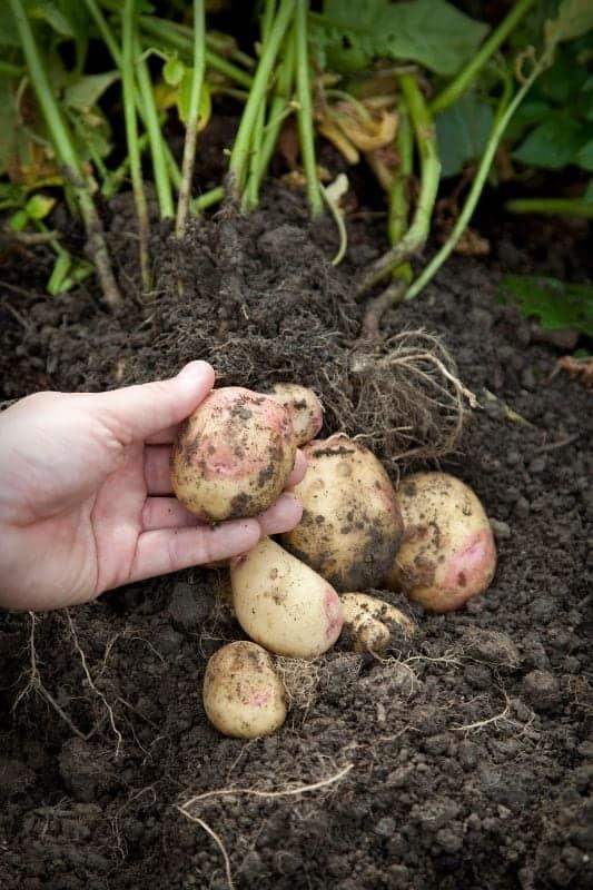A hand holds a freshly dug potato