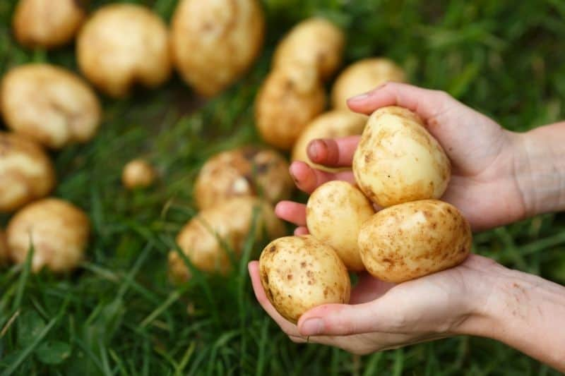 Hands hold scrubbed potatoes