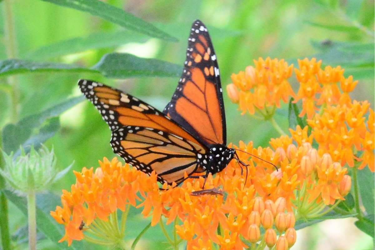 A monarch rests on butterflyweed
