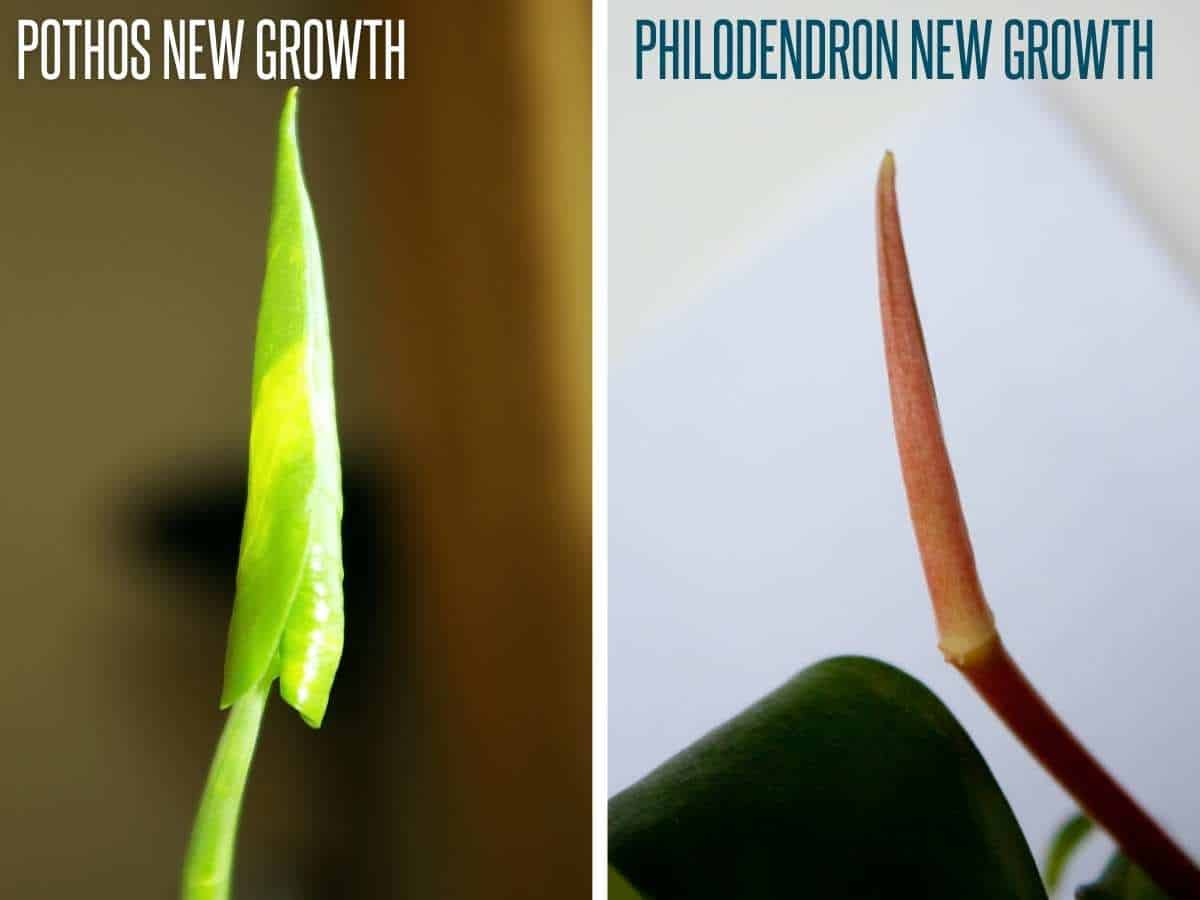 A split image compares pothos new growth to philodendron new growth