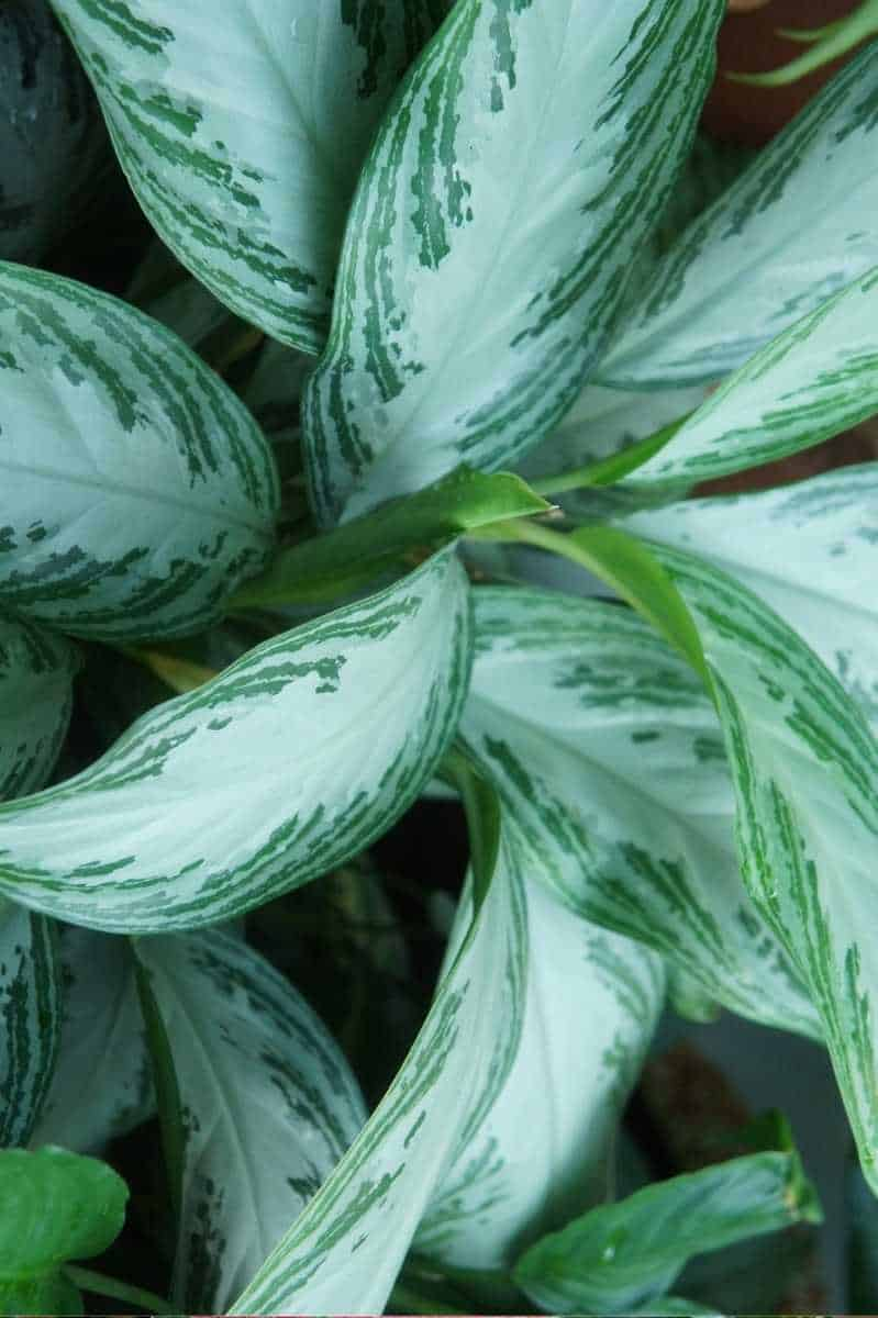 Close up on the leaves of a Silver Bay Aglaonema
