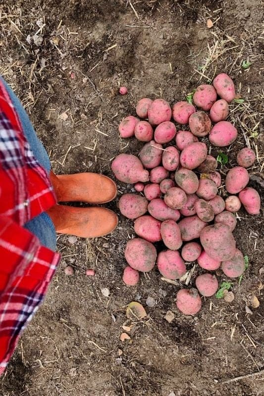 A person in boots stand next to a pile of freshly harvested potatoes