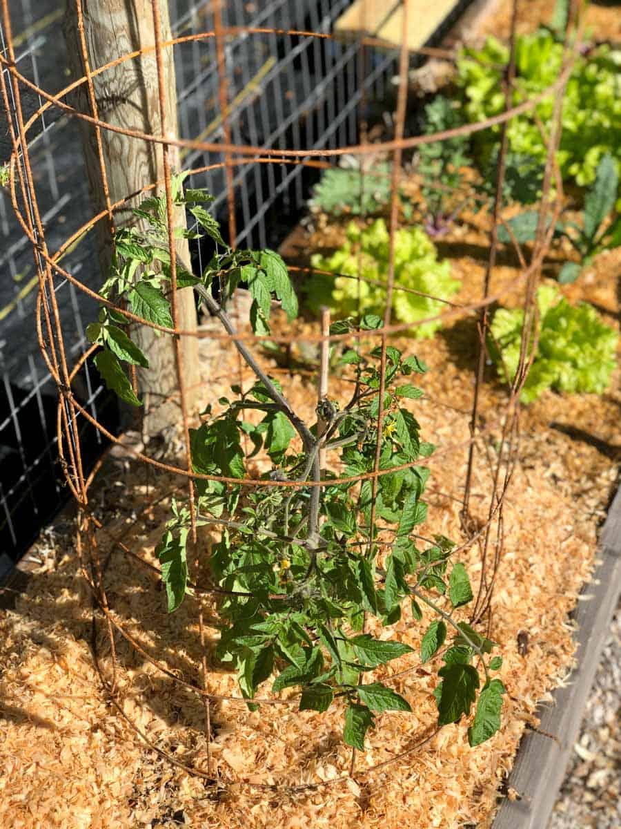 Close up on a DIY tomato cage around a tomato plant