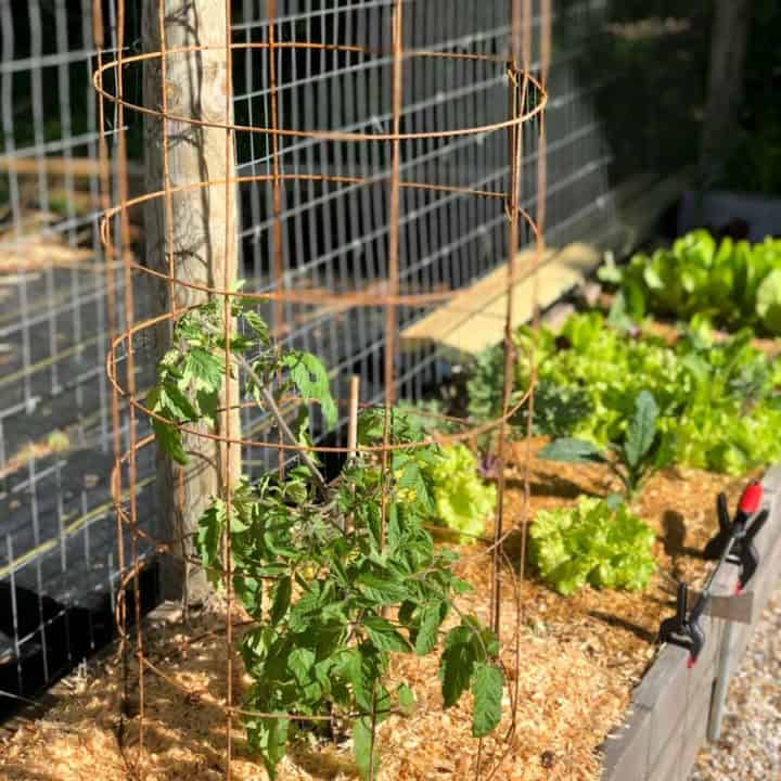 A cage made out of mesh sits around a tomato plant in a raised bed