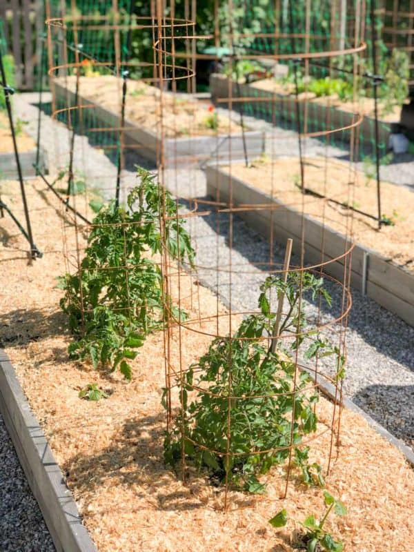 DIY tomato cages are around tomato plants in raised beds