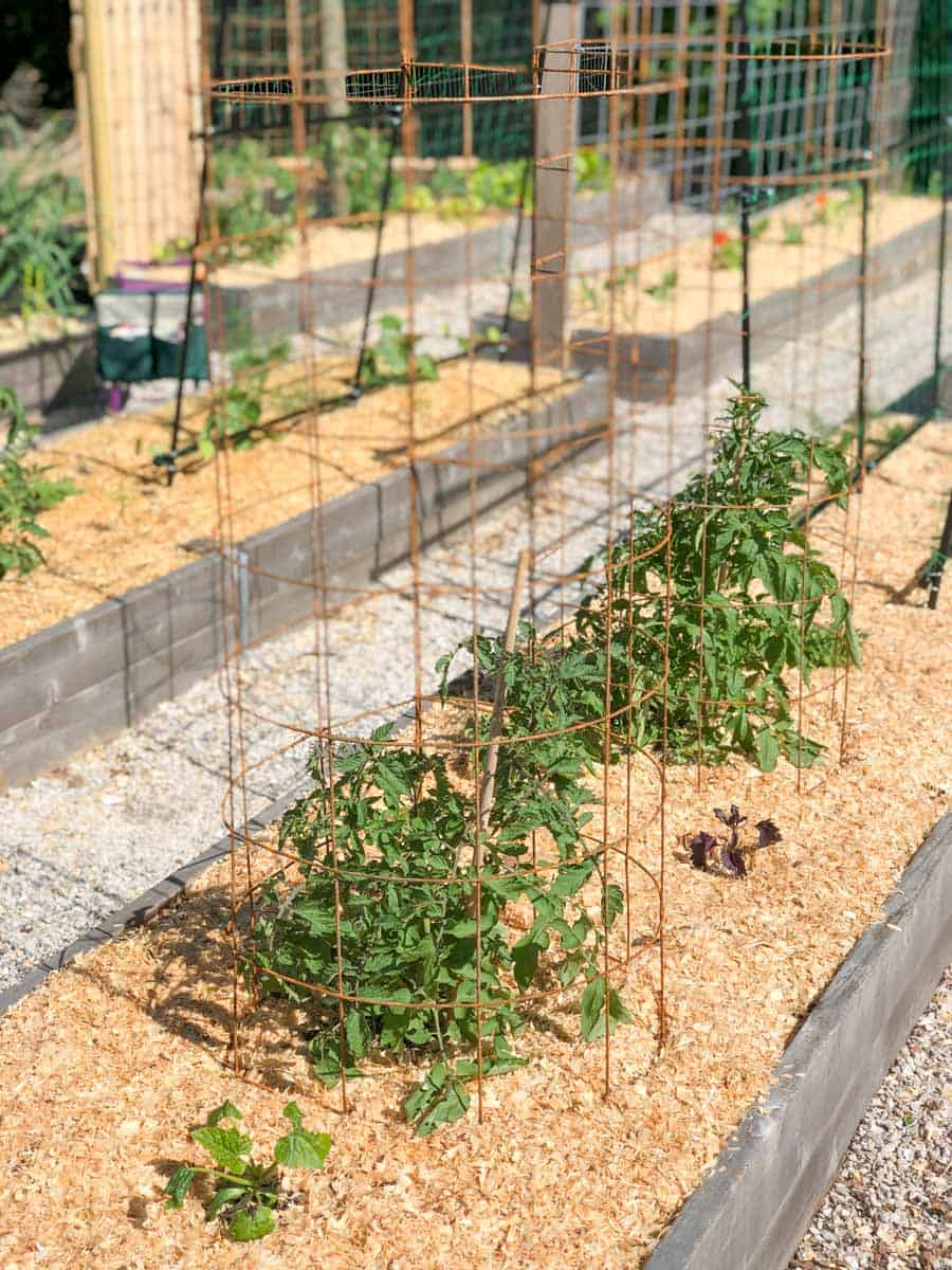 Two tomato plants in a garden bed, surrounded by DIY cages made of remesh