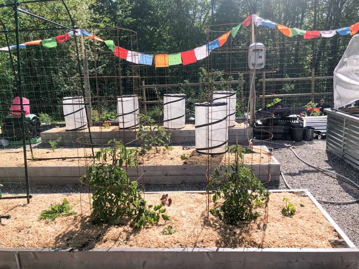 Tomato cages around tomato plants in a large vegetable garden