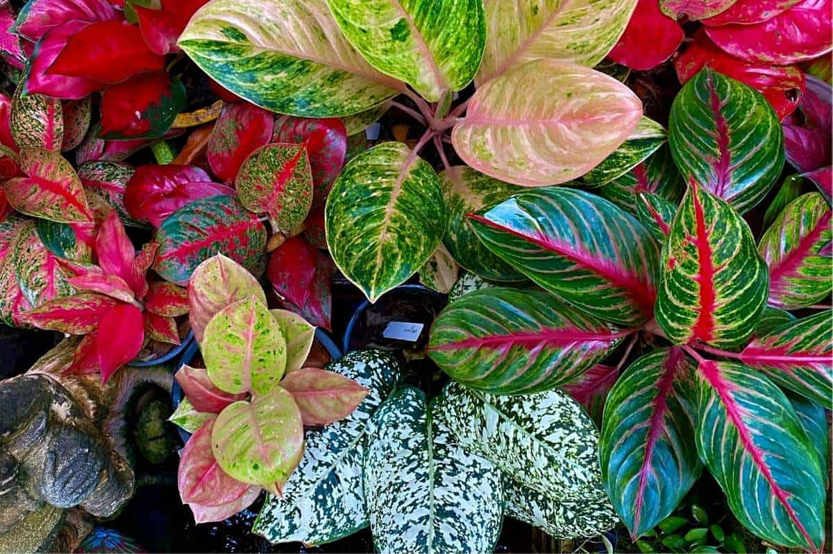 Various colorful Aglaonema plants, shown from above