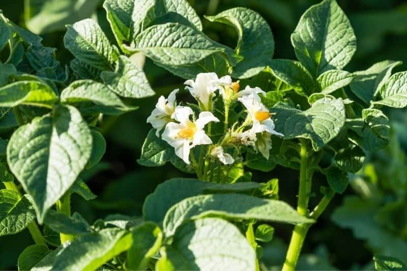 White blossoms on a potato plant
