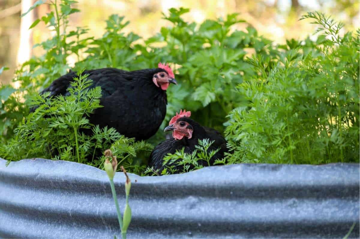 Two chickens sit in a leafy garden bed
