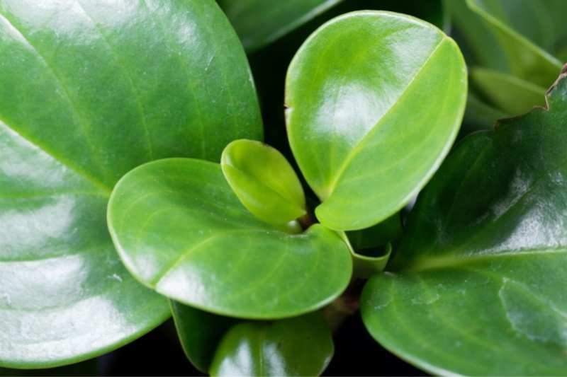 Close up on the leaves of a baby rubber plant