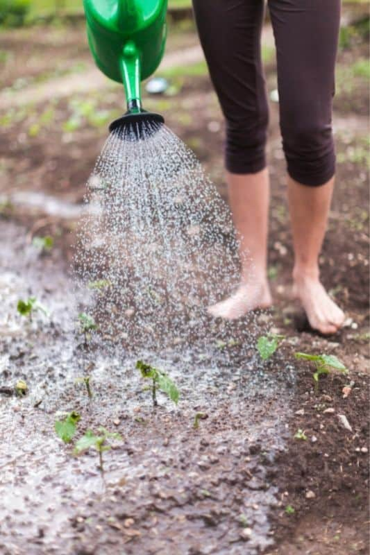 A barefoot person fertilizes plants with liquid fish emulsion